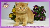 British Shorthair Red