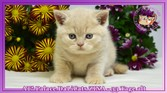 British Shorthair Cream